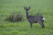 European roe deer (Capreolus capreolus) in winter hair in a meadow, strong buck, eight-pointer, rarity, Vechta, Lower Saxony, Germany, Europe