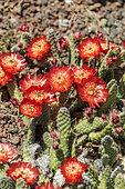 Oponce naine rouge (Tunilla picardoi, Opuntia picardoi) en pleine floraison, en mai. Espèce résistante au froid.