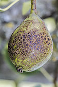 Scab sign on a pear. The fruit will be edible but of lesser gustative quality and not marketable.