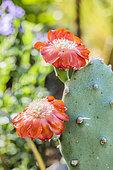 Fleur d'Oponce d'amérique du Sud (Opuntia quimilo)