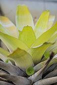 Brocchinia (Brocchinia tatei) rosette, protocarnivorous bromeliad