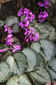 Cyclamen coum 'Pewter Leaf', flowering in February.