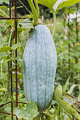 Blue Banana' squash. A variety for keeping which owes its name to its elongated shape and grey-blue skin.