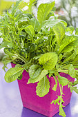 Mesclun grown in window boxes at the end of winter.