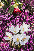 Flowers of the 'Joan of Arc' Crocus emerging from a winter heather (Erica carnea ''Mojave'), in February-March.