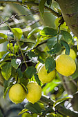 Meyer' lemon, a hybrid variety with a thin skin, appreciated by gourmets.