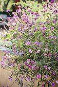 Amarantoïde (Gomphrena globosa) 'Fireworks', fleur annuelle résistant à la sécheresse.