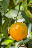 Mandarin 'Page': looks like an orange but technically, 'Page' is a hybrid between a tangelo and a mandarin. Juicy fruit and sweet flavour.