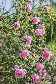 Rose 'Lijiang Road', hybride de Rosa gigantea. Non remontant, vigoureux et parfumé.