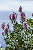 Madeira Vipersbugloss (Echium nervosum) endemic to Madeira and sometimes cultivated in Europe.