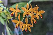 Laeliocattleya 'Orange Crush', a very colourful hybrid of Laelia and Cattleya.