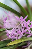 Flowering Ascofinetia 'Cherry Blossom', intergeneric hybrid (Neofinetia x Ascocentrum)