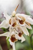 Coelogyne 'Memoria Louis Forget', fragrant orchid