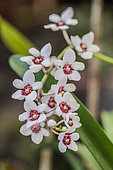 Large boulder orchid (Sarcochilus hartmannii), an orchid remarkable for its regular, almost axially symmetrical flower.