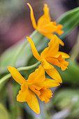 Laeliocattleya 'Thais de Valec', intergeneric hybrid orchid (Laelia x Cattleya)