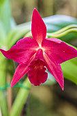 Sophrolaeliocattleya flower 'Jewel Box', hybrid orchid, intergeneric (Sophronitis x Laelia x Cattleya)