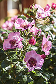 Queen Pink, a variety of the Babylon Eye series, a hybrid of Rosa persica, very drought resistant.