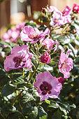 Rose 'Queen Pink', une variété de la série Babylon Eye, hybride de Rosa persica, très résistant à la sécheresse.