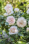 Lion's Rose, a very vigorous variety with the ADR (Allgemeine Deutsche Rosenneuheitenprüfung) label.
