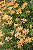 African Daisy Flower (Dimorphotheca aurantiaca) in bloom. Orange daisy of limited hardiness in harsh climate.