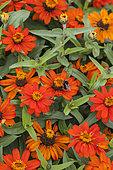 Orange dwarf zinnia variety