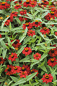 Zinnia 'Knee High Fire' in bloom. Zinnia variety from the 'Profusion' series, dwarf.