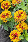 Zinnia 'Swizzle' in bloom. Elegant variety of zinnia with double and bicoloured flower heads and dark heart.