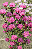 China aster (Callistephus chinensis) 'Baby Rose Pink'. A very compact variety, mainly for cut flowers or as a planter arrangement.