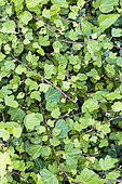 Duckfoot Ivy. Variety with duckfoot-shaped leaves, hence the name. Small development.