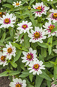 Maryland Zinnia (Zinnia marylandica) in bloom. Small botanical zinnia.