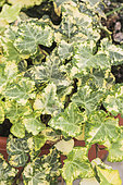 Golden Cecile' ivy. Irregularly variegated variety with light yellow and green patches, for potted or shaded ground cover.