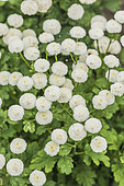 Disc mayweed (Matricaria sp) 'Spring Spirit' alias 'Virgo'. Capsules in white pompons, for cut flowers and pots.