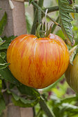 Tomato 'Copia'. Skin finely streaked with yellow and red, very nice fruit. Similar variety to Green Zebra.