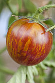 Tomato 'Violet Jasper' alias 'Tzi Bi'. Precocious, very tough skin, washed with green and red.