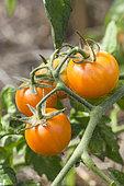 Tomate 'Ida Gold'. Tomate orange à port déterminé, de 60 g, précoce.