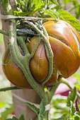 Tomato deformed by poor staking and watering