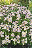 Garden Chrysanthemum 'Psycho Rosea'. Small, pinkish-white flower heads with a dark heart. Very compact growth habit.
