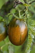 'Black plum' tomato. Elongated and dark in shape, hardy and producing until October.
