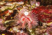 Tube worm, serpula vermicularis, Ponza island, Italy, Tyrrhenian Sea, Mediterranean