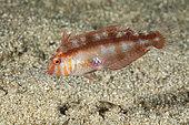Pearly razorfish juvenile, (Xyrichtys novacula), Ponza island, Italy, Tyrrhenian Sea, Mediterranean