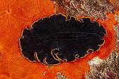 Black flatworm, (Pseudobiceros splendidus) on encrustating sponge, Ponza island, Italy, Tyrrhenian Sea, Mediterranean