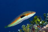 Mediterranean rainbow wrasse (Coris julis), Ponza Island, Italy, Tyrrhenian Sea
