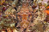 Great rockfish, Scorpaena scrofa, Ponza island, Italy, Tyrrhenian Sea, Mediterranean