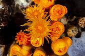 Yellow cave coral, (Leptopsammia pruvoti), Ponza island, Italy, Tyrrhenian Sea, Mediterranean