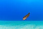 Pearly razorfish juvenile, (Xyrichtys novacula), over a sandy bottom, Ponza island, Italy, Tyrrhenian Sea, Mediterranean