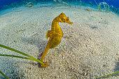 Short-snouted seahorse, (Hippocampus hippocampus), male, Ponza Island, Italy, Tyrrhenian Sea, Mediterranean Sea.