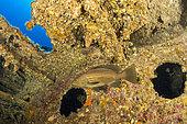 Goldblotch grouper, (Epinephelus costae), inside a wreck, Ponza Island, Italy, Tyrrhenian Sea, Mediterranean