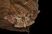 Geometer moth (Krananda lucidaria) imago on a leaf, Kinabalu NP, Borneo, Malaysia