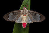 Amerila (Amerila omissa), imago on a leaf, Kinabalu NP, Borneo, Malaysia