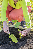 Planting a squash in spring, step by step.